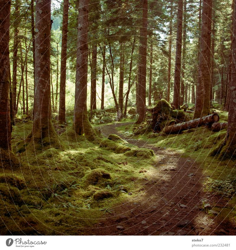 Green Beautiful Forest Lanes & trails Idyll Fantastic Footpath Tree trunk Moss Woodground Scotland Coniferous forest Great Britain