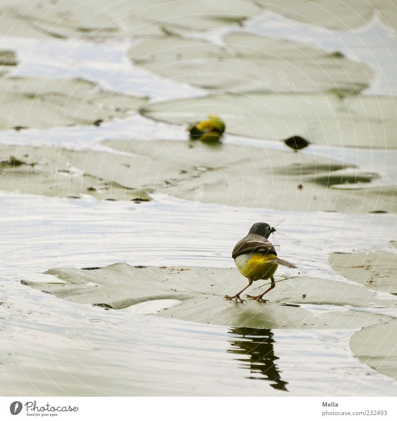 Grab it! Environment Nature Plant Animal Water Leaf Water lily Water lily leaf Pond Lake Bird Blue-headed wagtail 1 Catch To feed Small Natural Cute Green