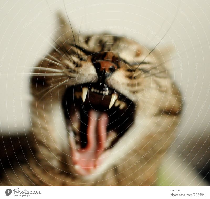 Tiger Lilly Pet Cat Animal face 1 Scream Aggression Cute Point Anger Brown Indifferent Grouchy Yawn Wake up Colour photo Interior shot Morning