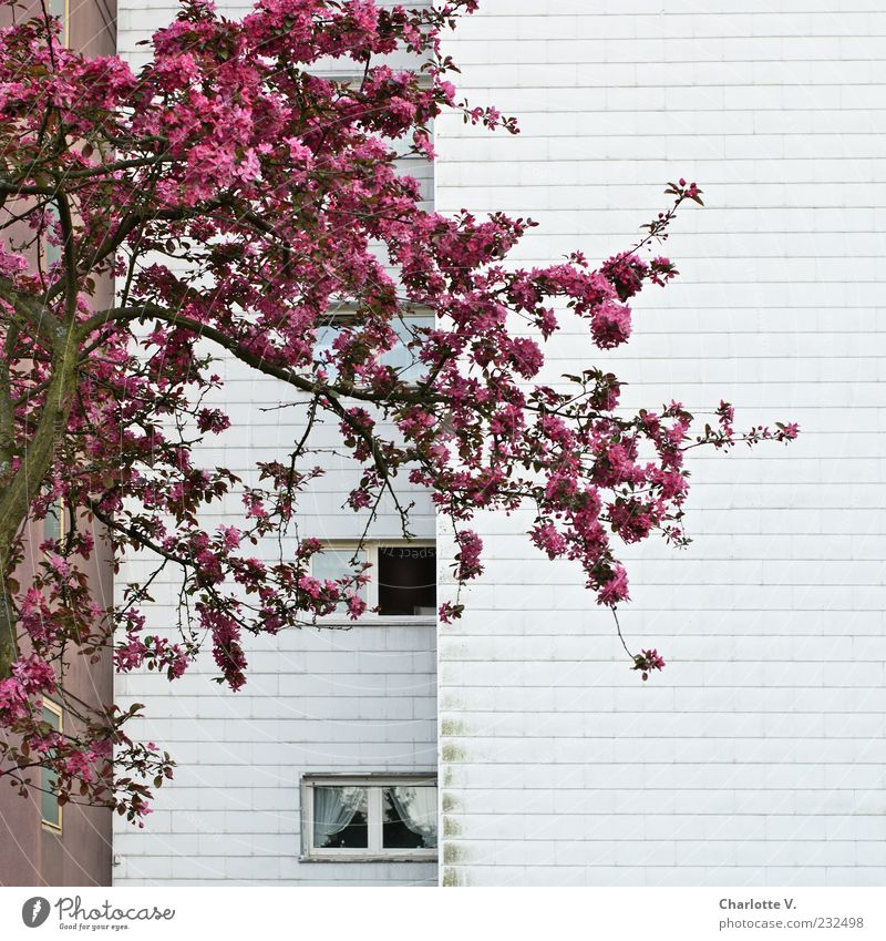 ray of hope Plant Spring Tree Blossom Fruit trees Cherry tree Cherry blossom High-rise Tower block Apartment house Settlement Wall (barrier) Wall (building)