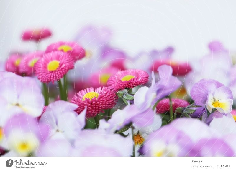 sea of blossoms Plant Flower Blossom Blossoming Esthetic Violet Pink White Spring fever Delicate Daisy Pansy Colour photo Exterior shot Macro (Extreme close-up)