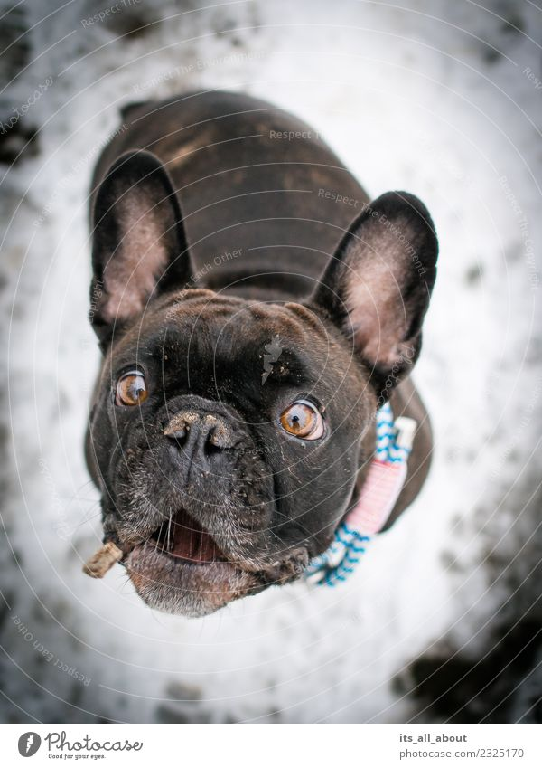 Grab it! Animal Pet Dog French Bulldog 1 Catch Colour photo Subdued colour Exterior shot Neutral Background Day Shallow depth of field Bird's-eye view