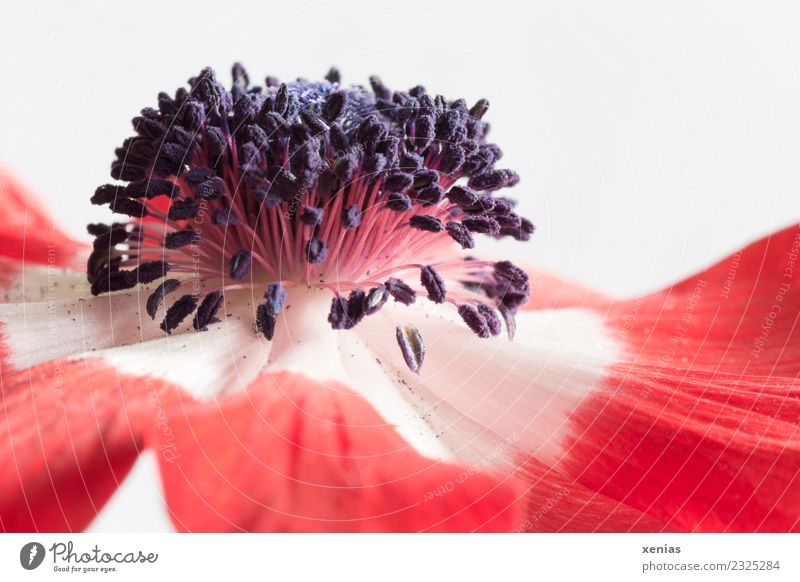 Anemone in red and white Flower Blossom Red Black White ovary Crowfoot plants Blossom leave Stamen Colour photo Studio shot Close-up Detail