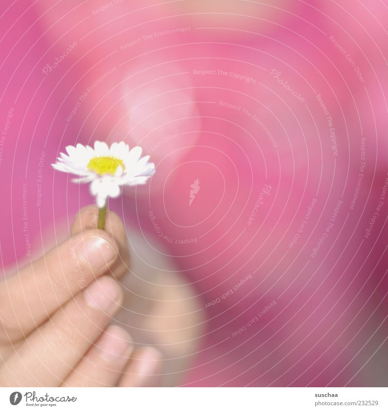 for you ... Spring Beautiful weather Flower Blossom Blossoming Pink Daisy Hand Fingers Stop Donate Exterior shot Close-up Copy Space right Blur