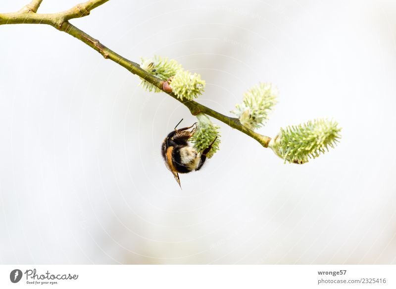 Nature Green Animal Black Yellow Blossom Spring Natural Brown Work and employment Wild animal Blossoming Twig Near Insect Hang