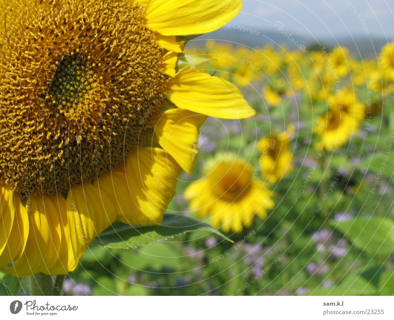 Flower Green Plant Yellow Landscape Sunflower