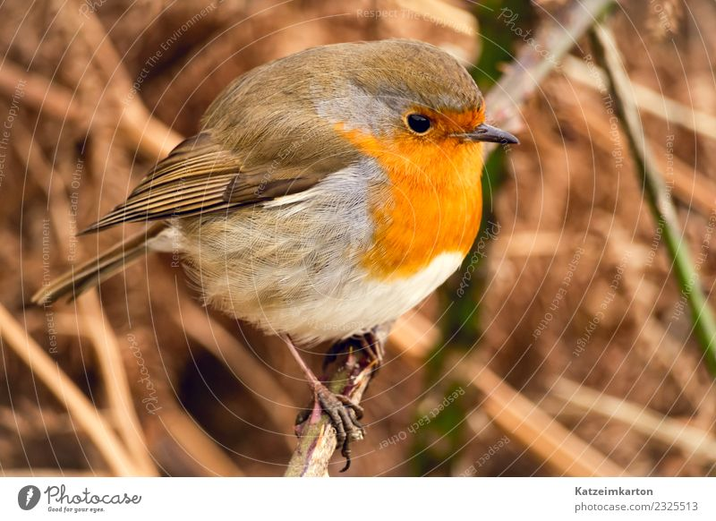 Portrait of a robin Nature Spring Bushes Animal Wild animal Bird Wing 1 Observe To enjoy Crouch Stand Wait Esthetic Authentic Happy Beautiful Small Emotions