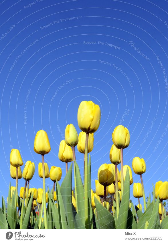 towards the sun Nature Plant Cloudless sky Spring Beautiful weather Flower Tulip Leaf Blossom Blossoming Fragrance Growth Yellow Tulip field Tulip blossom
