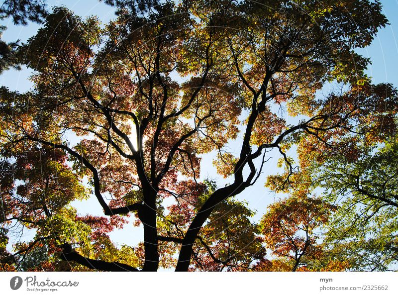 Canadian Autumn III Environment Nature Plant Sun Sunlight Tree Leaf Foliage plant Park Forest Virgin forest Wood Faded Esthetic Transience Multicoloured