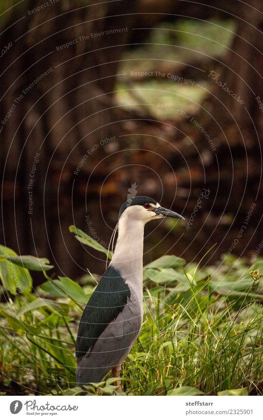 Still Black-crowned night heron shorebird Nycticorax nycticorax Animal Wild animal Bird 1 Blue Green Red White Heron Corkscrew Swamp Corkscrew Swamp Sanctuary