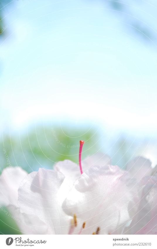girl's thing Environment Nature Plant Sky Spring Beautiful weather Flower Blossom Exotic Fresh Small Blue Pink Red White Fragrance Kitsch Ease Colour photo