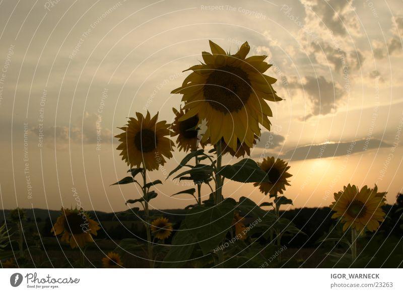 Sunflowers Showdown Back-light Yellow Evening