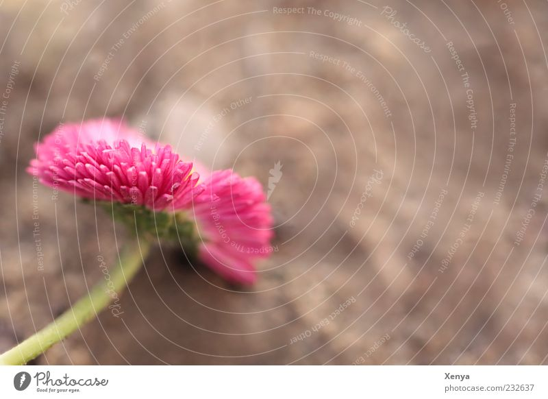 Pink Reloaded Nature Plant Flower Blossom Blossoming Brown Green Joie de vivre (Vitality) Spring Colour photo Exterior shot Macro (Extreme close-up) Deserted