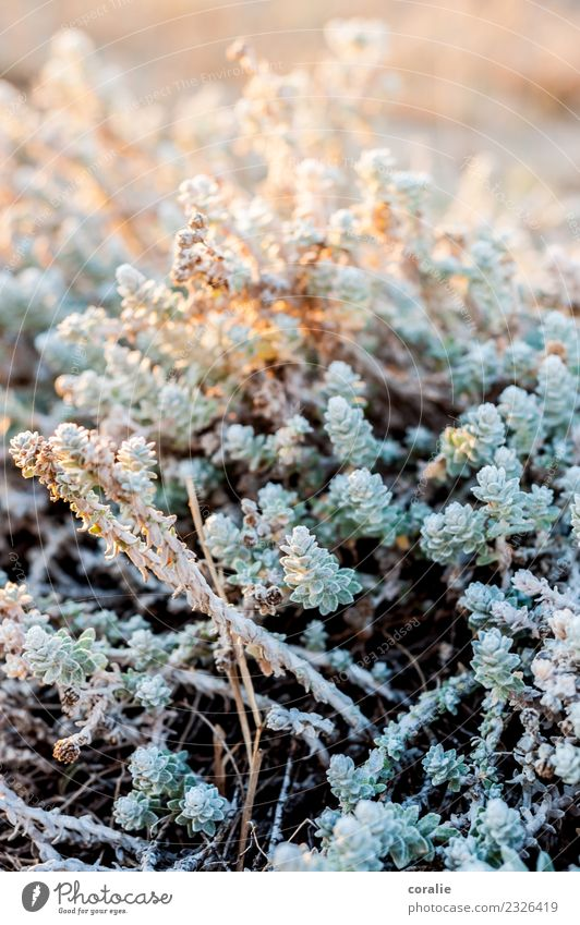 Beautiful plants in winter Nature Plant Bushes Foliage plant Maritime Orange Turquoise Beach dune Walk on the beach Wayside Ice Frost Winter Winter light
