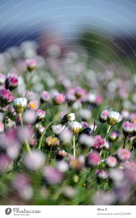 Nature White Beautiful Plant Summer Flower Leaf Meadow Grass Small Garden Blossom Spring Pink Closed Growth