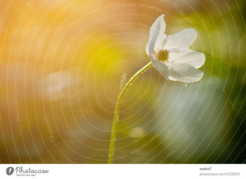 early bloomers Flower Blossom Blossoming Illuminate Uniqueness Warmth Contentment Idyll Nature Growth Wood anemone Colour photo Multicoloured Exterior shot