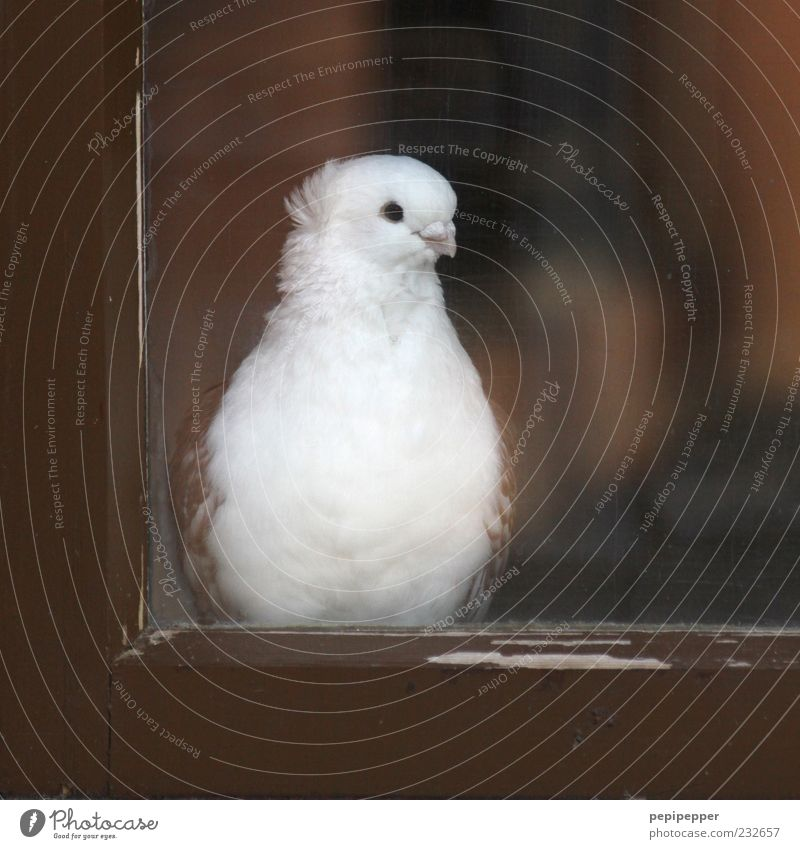 wait for one's sweetheart Window Animal Farm animal Bird Pigeon 1 Wood Glass Observe Beautiful Brown White Contentment Patient Colour photo Close-up Deserted