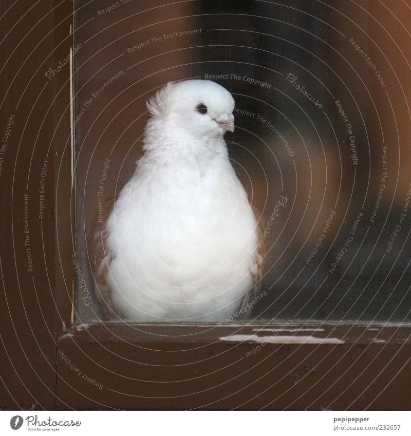 White Beautiful Animal Eyes Window Wood Head Brown Bird Contentment Glass Sit Observe Pigeon Beak Farm animal