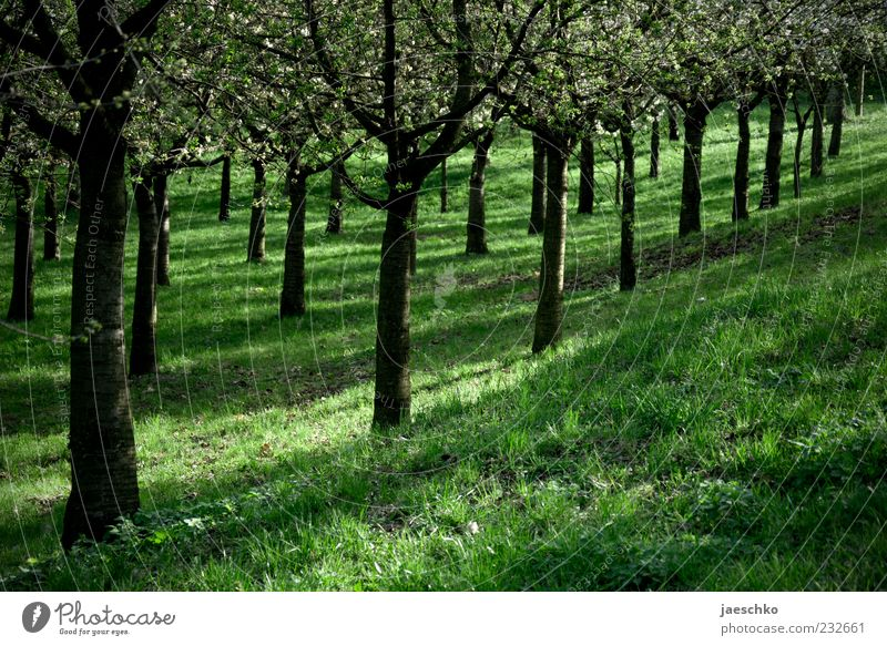 fruit regulations Environment Nature Spring Beautiful weather Tree Agricultural crop Blossoming Green Beaded Arrangement Orderliness Cherry tree Parallel Row