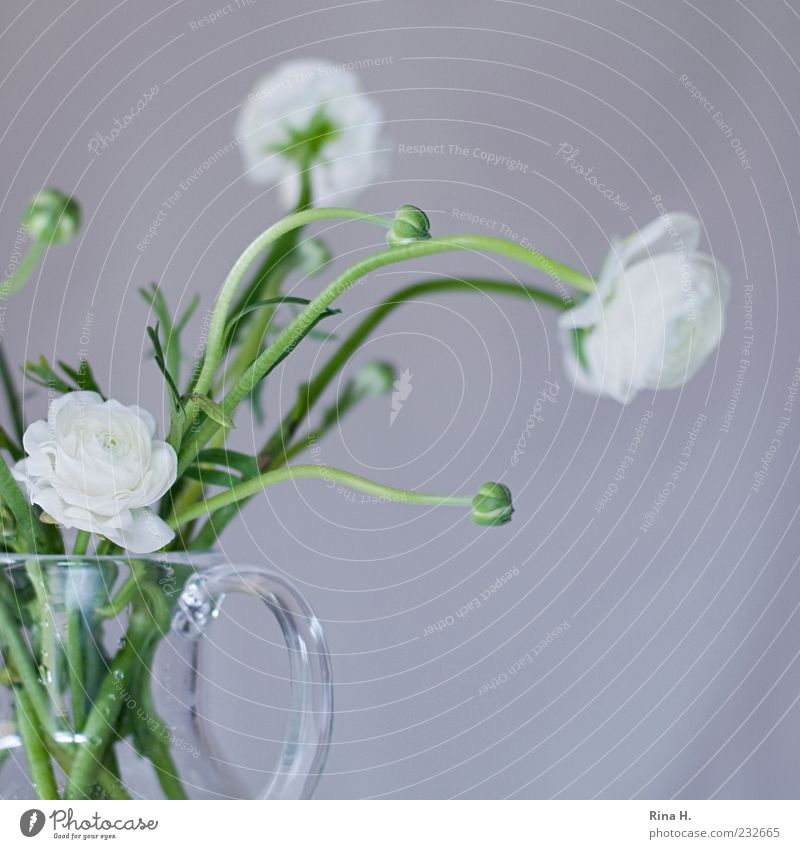 White Ranunculus Spring Flower Blossom Buttercup Decoration Blossoming Fresh Bright Positive Green Spring fever Vase glass vase Bouquet Interior shot Deserted