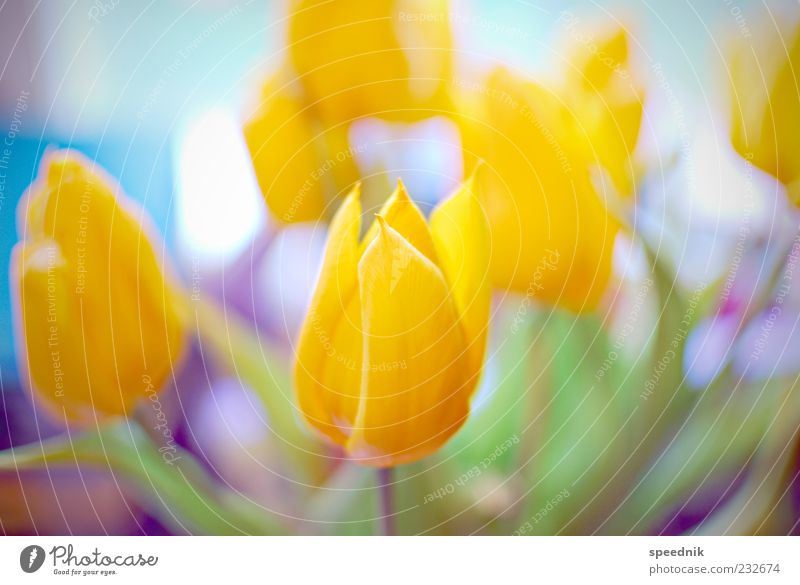 Nature Plant Yellow Bouquet Fragrance Tulip Blossom leave Flower