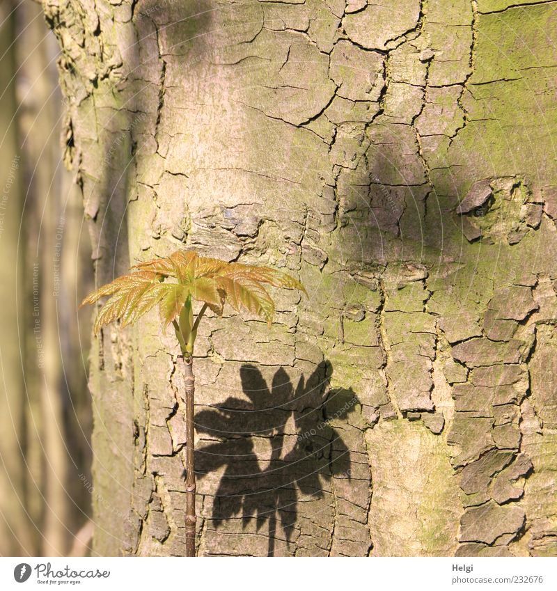 old log with a young shoot and leaves casting a shadow Environment Nature Plant Spring Beautiful weather Tree Leaf Wood Stand Growth Esthetic Fresh Small