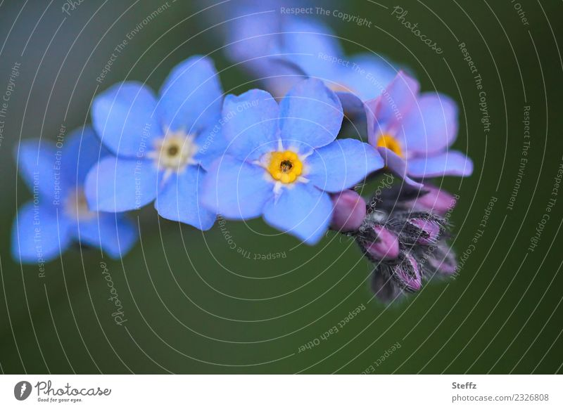 Nature Plant Blue Beautiful Green Flower Blossom Spring Garden Idyll Birthday Blossoming Romance Violet Bud Blossom leave