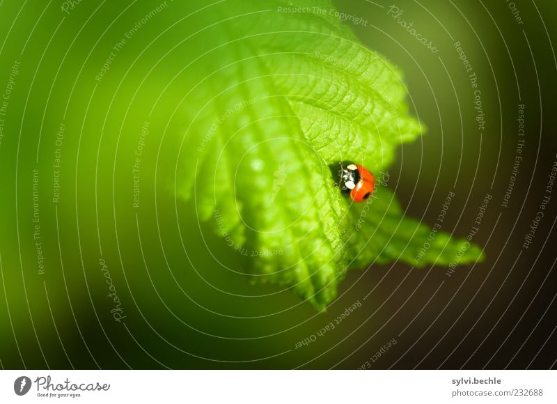 Welcome to spring! Environment Nature Plant Animal Spring Leaf Wild animal Beetle 1 Baby animal Crawl Small Green Red Black Happy Ladybird Insect Colour photo
