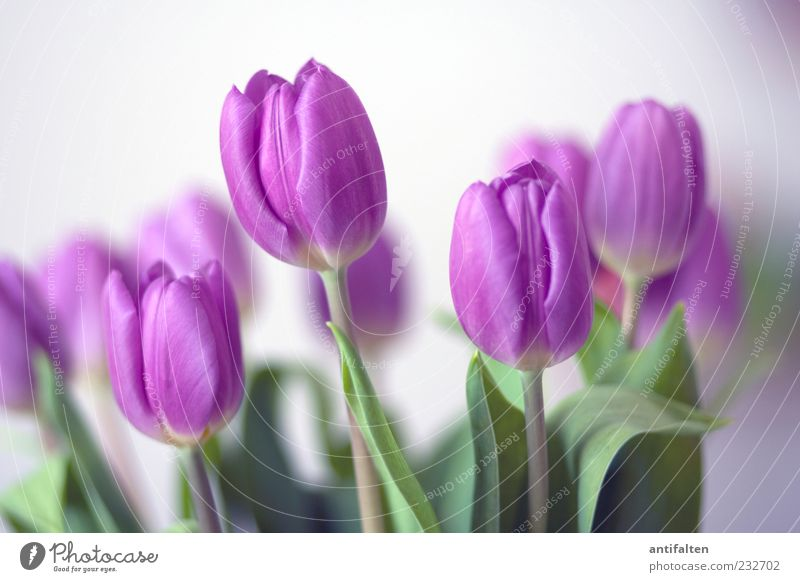 Gentle tulips Plant Flower Tulip Leaf Blossom Esthetic Happiness Fresh Soft Green Violet White Joy Happy Spring fever Bouquet Decoration Stalk Colour photo