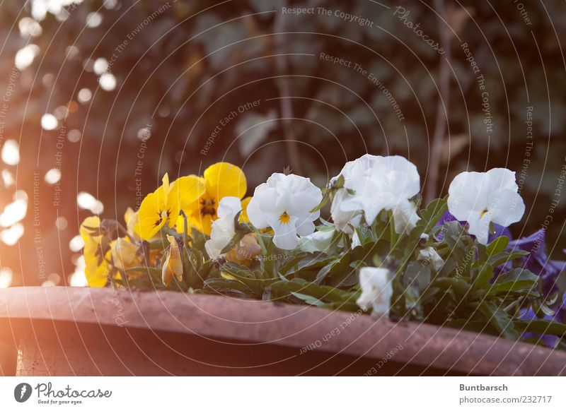 wimps Flowerpot Plant Sunlight Spring Blossom Pansy Violet plants Yellow Green White Spring fever Colour Moody Colour photo Exterior shot Evening Light