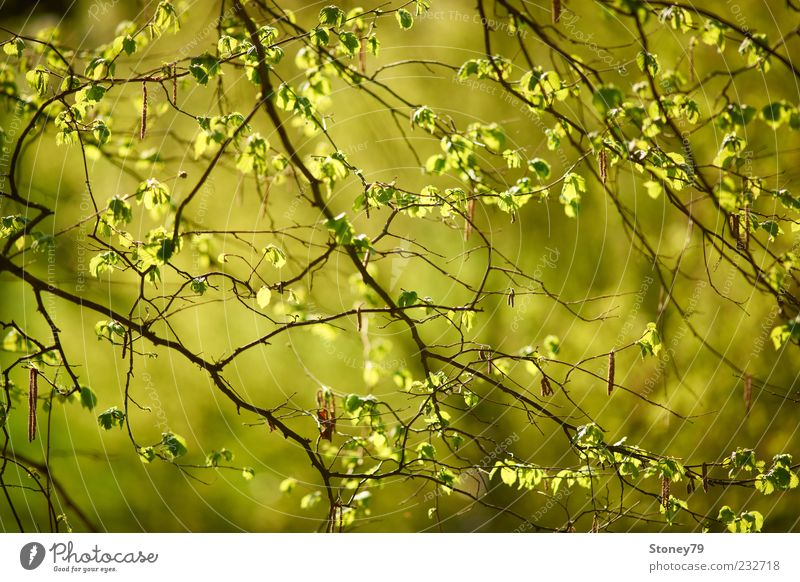 Nature Green Tree Plant Leaf Spring Fresh Illuminate Beautiful weather Seasons Twig Deciduous tree Light green