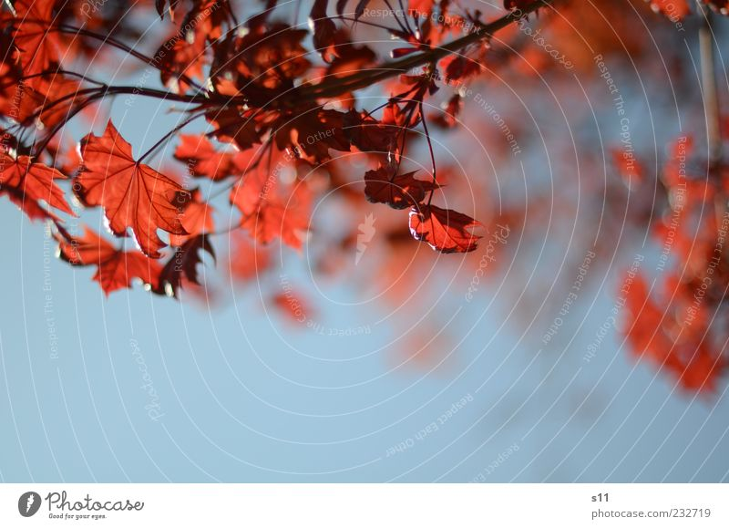 blue sky, red leaves Environment Nature Plant Air Sky Cloudless sky Sunlight Spring Summer Weather Beautiful weather Tree Leaf Hang Illuminate Esthetic Blue Red