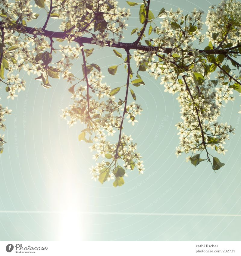 Sky Nature Blue Plant Green White Sun Leaf Spring Blossom Climate Branch Blossoming Beautiful weather Cloudless sky Square