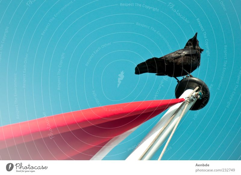 Sky Blue Red Animal Black Environment Above Bird Sit Elegant Uniqueness Flag Observe Beautiful weather Flagpole Cloudless sky