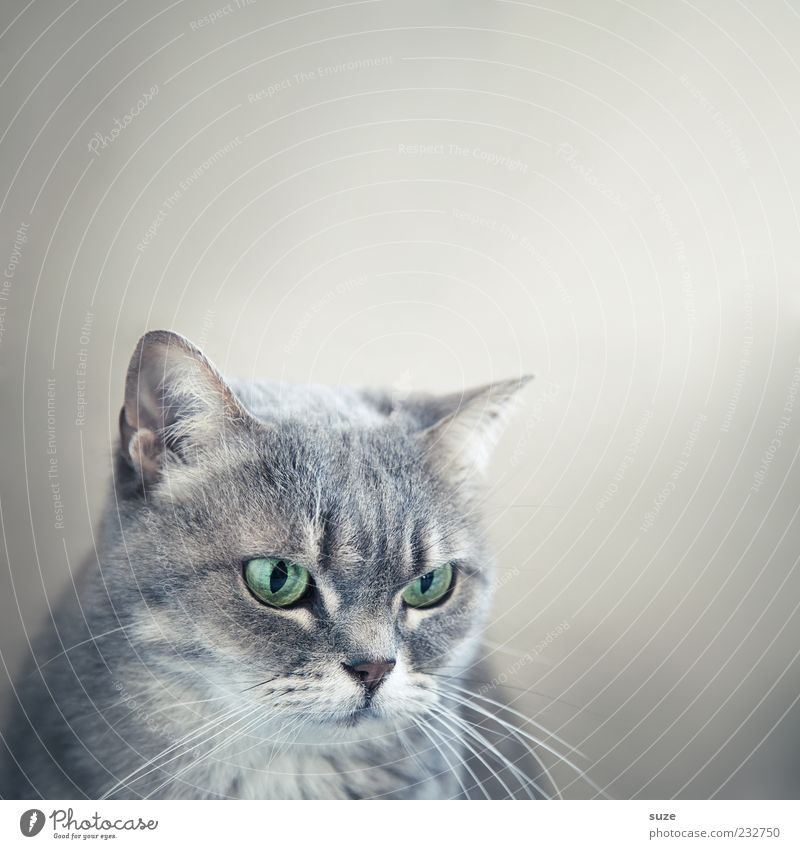 Cat Beautiful Animal Eyes Gray Natural Cute Observe Pelt Animal face Pet Animalistic Domestic cat Whisker Cat eyes Cat's head