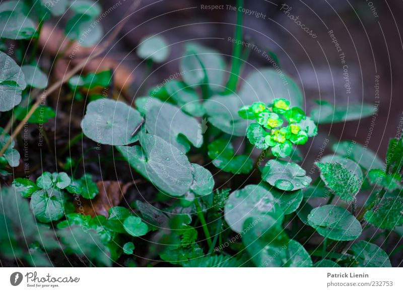 Lights in the forest Environment Nature Plant Spring Rain Leaf Blossom Foliage plant Wild plant Dark Fresh Wet Natural Soft Green Golden saxifraga Colour photo