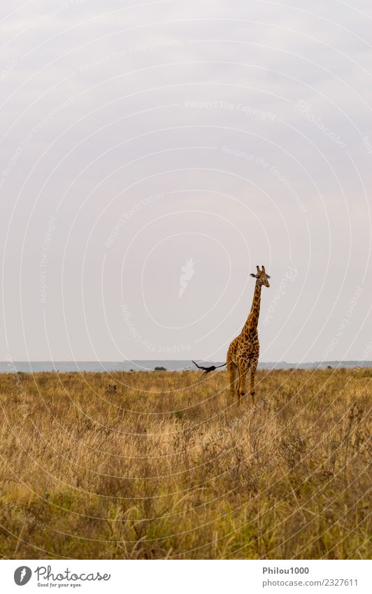 Giraffe isolated in savannah Sky Nature Vacation & Travel Summer Landscape White Sun Tree Animal Joy Environment Funny Grass Group Wild Park