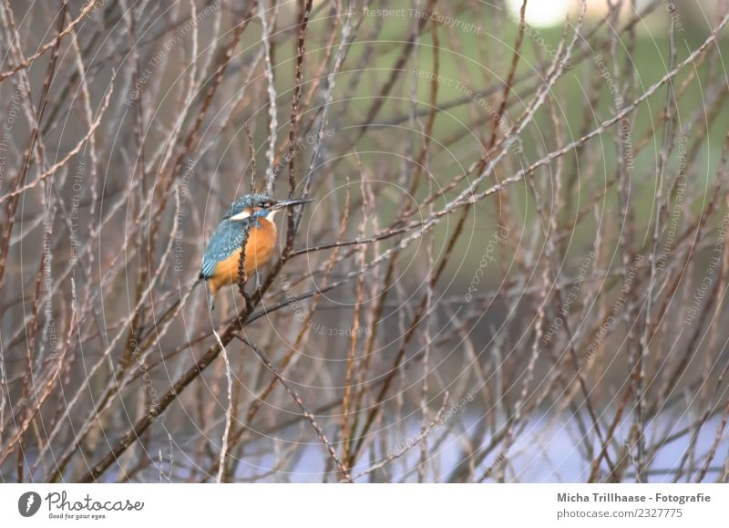 Kingfisher in tree Environment Nature Animal Water Sun Plant Tree Branch Twig Brook River Wild animal Bird Animal face Wing Claw Beak Feather Eyes 1 Observe