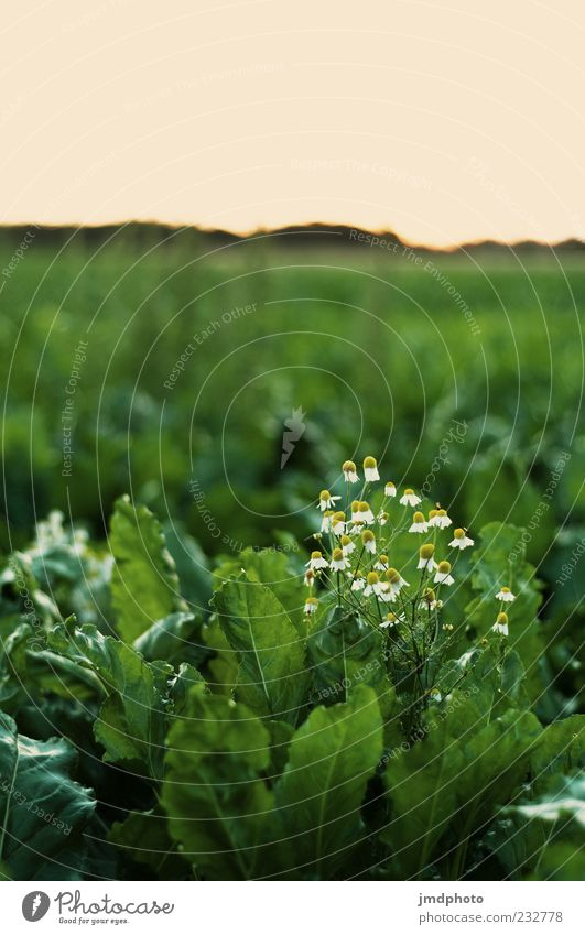Chamomile in cabbage Summer Nature Landscape Plant Spring Flower Leaf Blossom Foliage plant Cabbage Camomile blossom Field Blossoming Fragrance Faded Growth