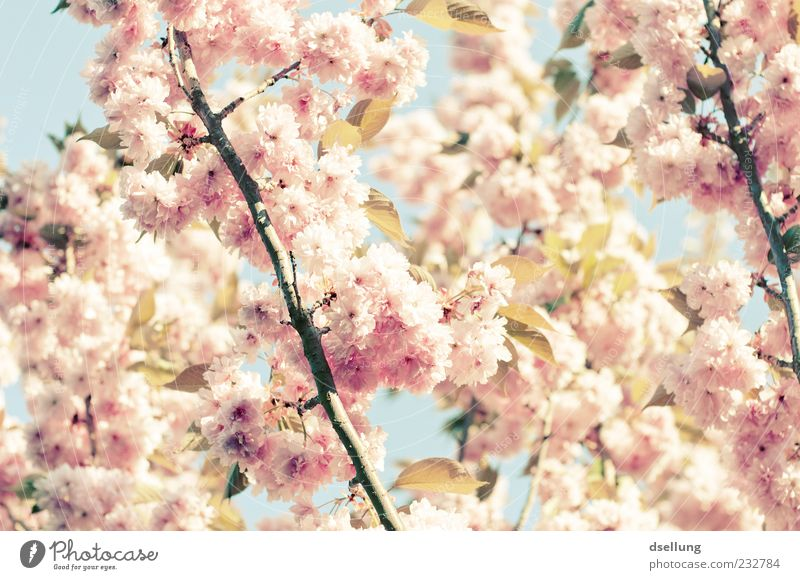 girl's photo Plant Spring Beautiful weather Tree Blossom Cherry tree Cherry blossom Pink White Delicate Colour photo Exterior shot Close-up Deserted Day Light