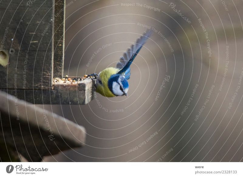 A blue tit at a feed house shortly before departure Eating Winter Nature Forest Animal Wild animal Bird 1 Flying Feeding Free Small Blue Yellow Elegant Energy