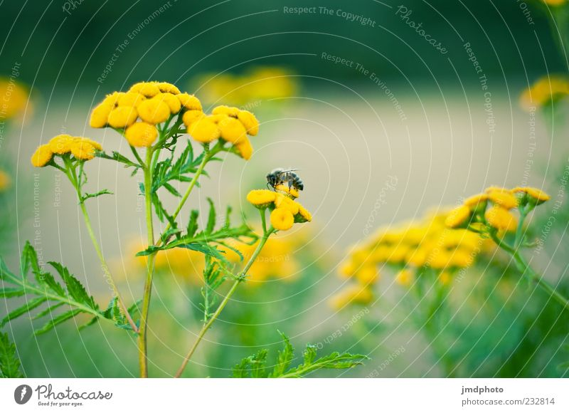 Nature Green Plant Summer Flower Animal Yellow Blossom Spring Natural Fresh Blossoming Bee Fragrance Farm animal Diligent