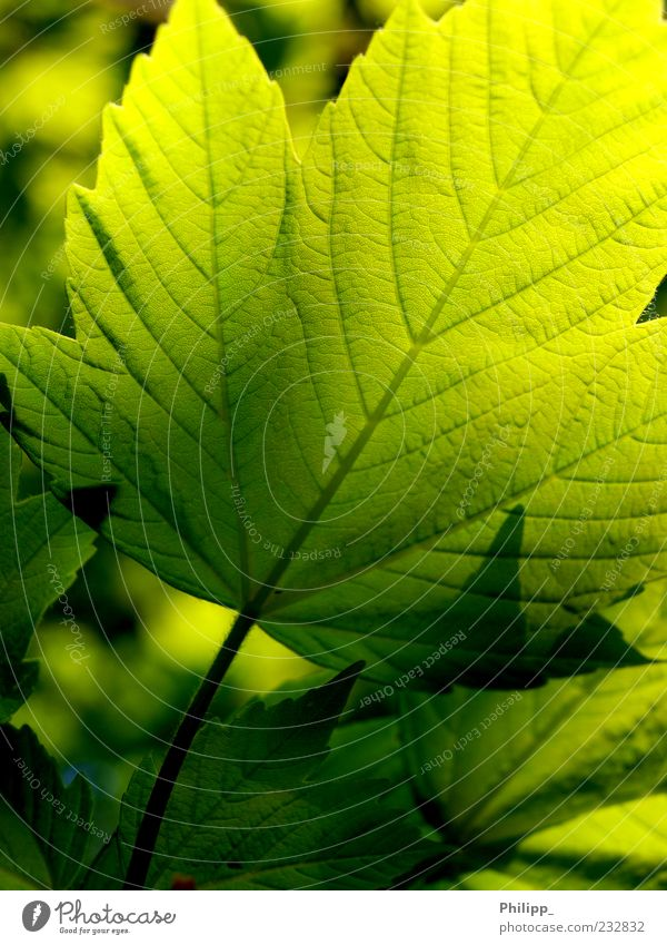 Maple leaf against the light Nature Plant Leaf Foliage plant Colour Bright green Dark green Shadow Back-light X-rayed Leaf green Rachis Silhouette Detail