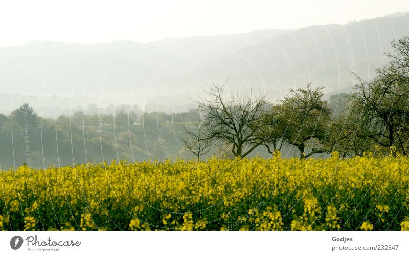 Rape field in front of trees and mountains immersed in fog Trip Hiking Environment Nature Landscape Plant Sky Sunlight Spring Beautiful weather Fog Tree Blossom