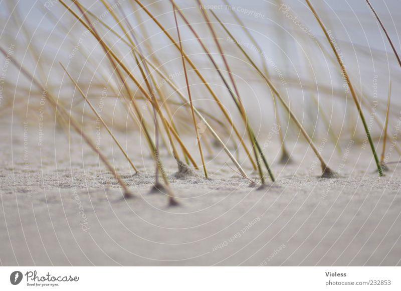 badly shaved!!! Sand Grass North Sea Island Joy Marram grass Dune Beach Beach dune Sandy beach Exterior shot Day Blur Shallow depth of field Copy Space bottom
