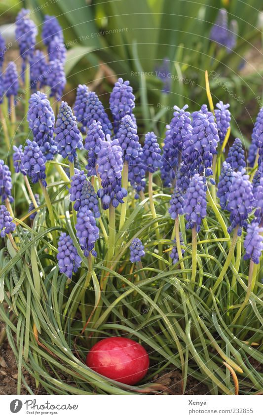The red egg Food Nature Plant Blossom Hyacinthus Garden Green Violet Red Anticipation Infancy Tradition Easter Spring Hiding place Colour photo Exterior shot
