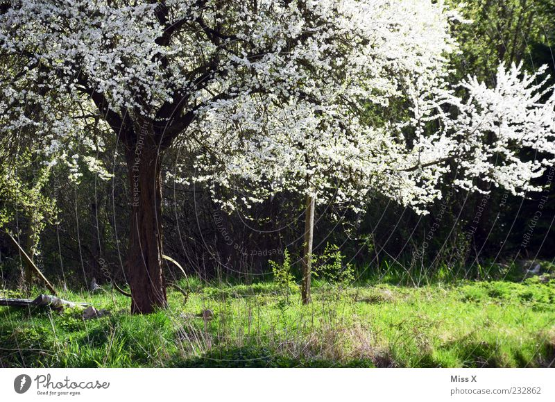 Nature White Tree Plant Leaf Meadow Grass Blossom Spring Beautiful weather Blossoming Tree trunk Fragrance Treetop Apple tree Cherry tree