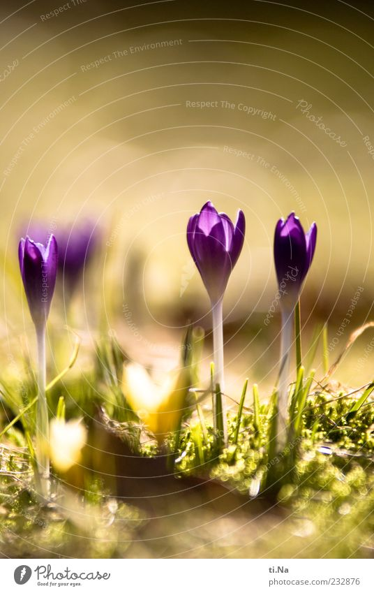 he was just there. Spring Beautiful weather Plant Crocus Meadow Blossoming Growth Bright Yellow Green Violet Spring fever Colour photo Close-up Deserted Day