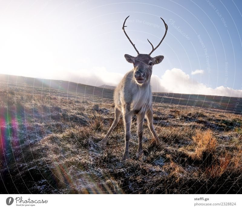 Reindeer in Scotland in winter Vacation & Travel Trip Freedom Expedition Winter Winter vacation Mountain Hiking Environment Nature Landscape Autumn