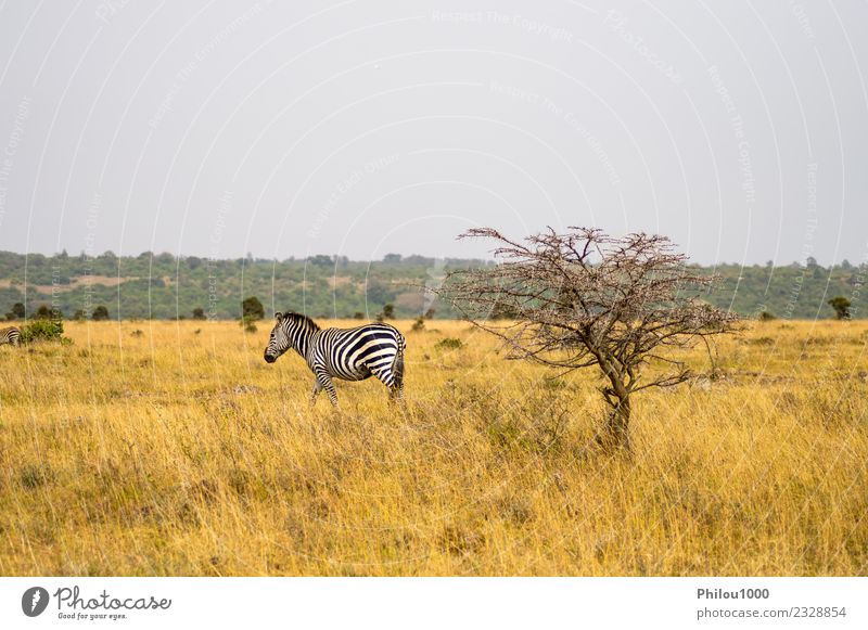 Isolated zebra in the savannah Sky Nature Vacation & Travel Landscape White Animal Black Street Environment Natural Grass Group Wild Park Skin Adventure